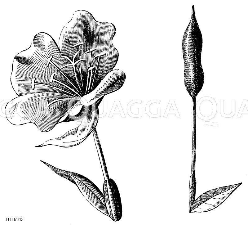 Onagraceae - Nachtkerzengewächse