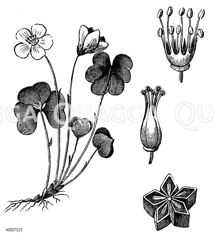 Oxalidaceae - Sauerkleegewächse