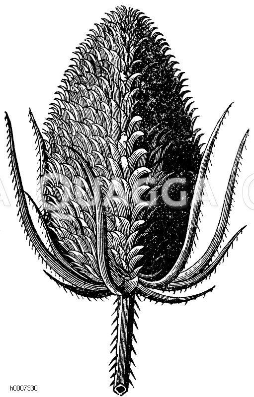 Dipsacaceae - Kardengewächse