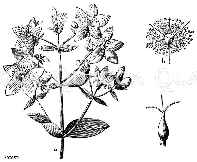 Hyperiaceae - Johanniskrautgewächse