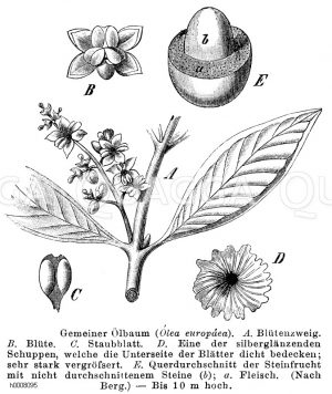 Ölbaum, Olivenbaum