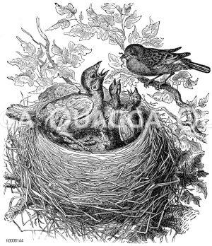 Kuckucksvögel