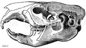 Eichhörnchen: Schädel