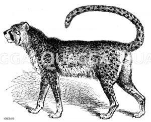 Jagdleopard