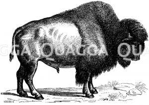 Rinder, Büffel, Bisons
