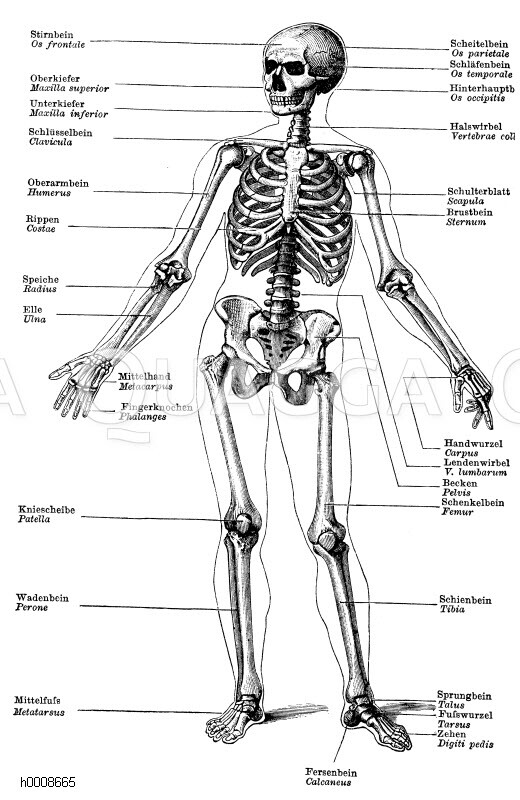 Mensch: Skelett. Stirnbein (Os frontale), Scheitelbein (Os parietale ...