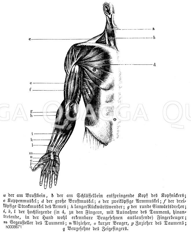 Mensch: Muskeln