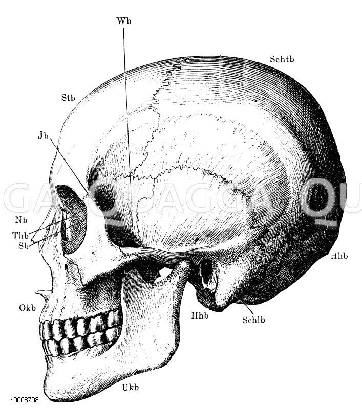Mensch: Kopfskelett im Profil. Stb) Stirnbein; Schtb) Scheitelbein ...