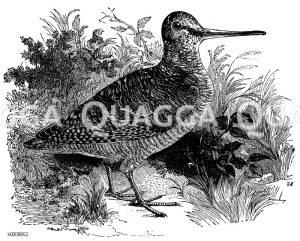 Schnepfenvögel - Scolopacidae