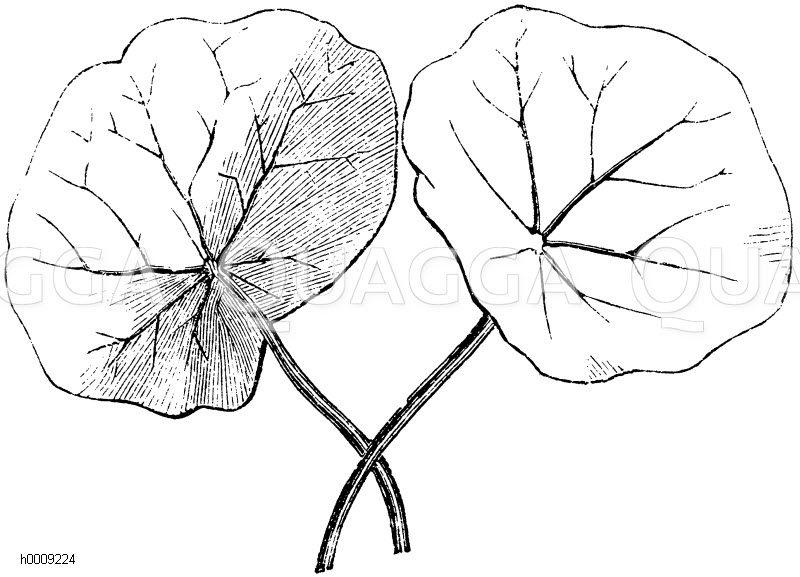 Tropaeolaceae - Kapuzinerkressengewächse
