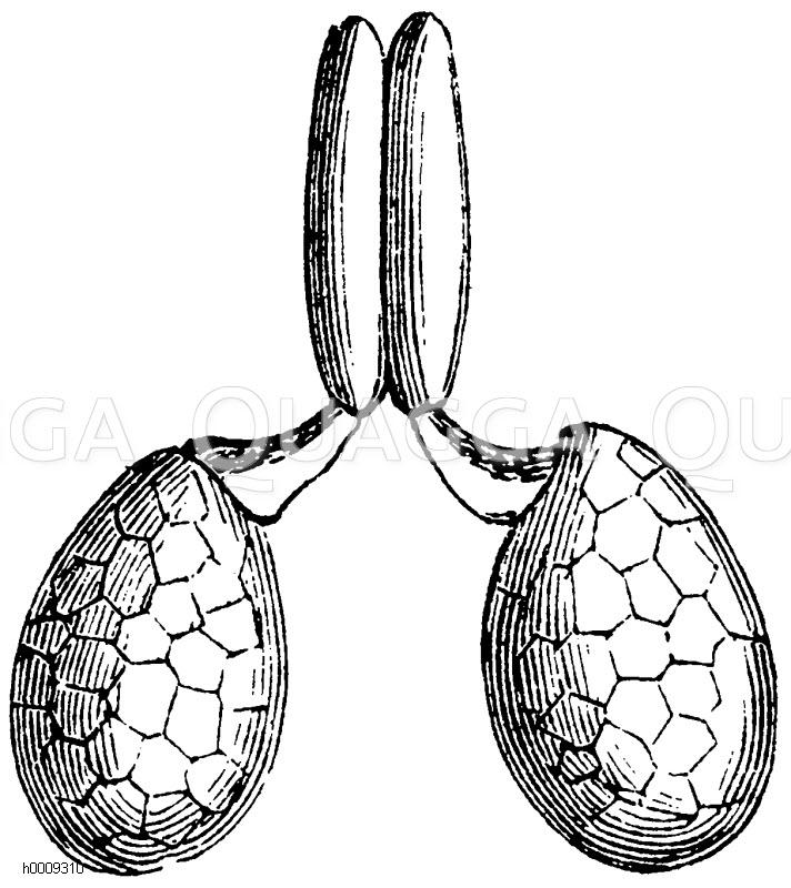 Asclepiadaceae - Schwalbenwurzgewächse