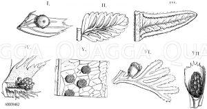 Aspidiaceae - Schildfarngewächse