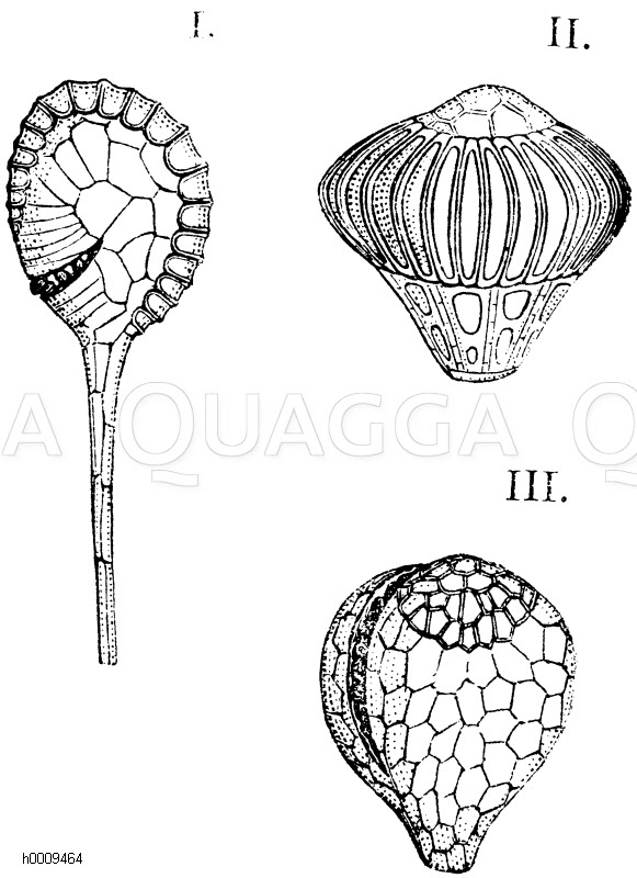 Osmundaceae - Rispenfarngewächse