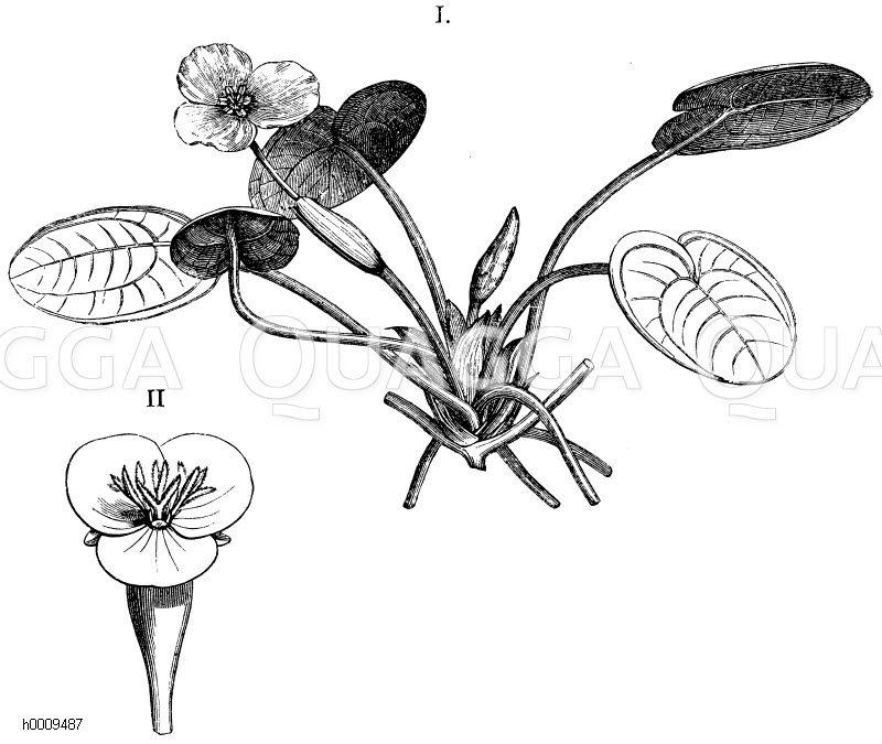 Hydrocharitaceae - Froschbissgewächse