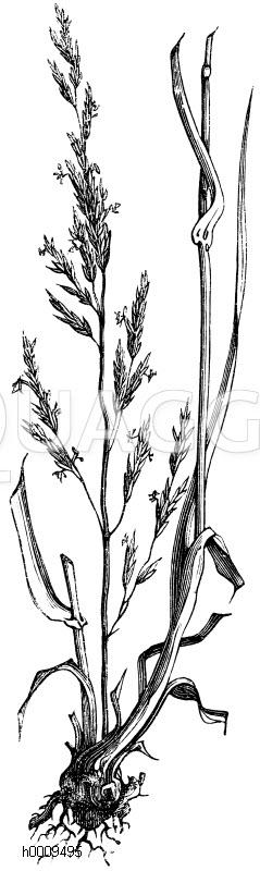 Poaceae - Süßgräser Archives