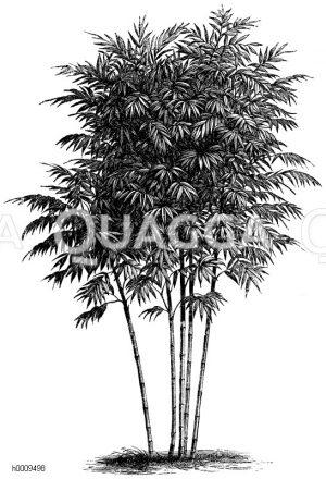 Poaceae - Süßgräser
