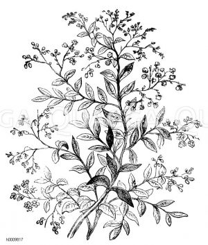 Boraginaceae - Rauhblattgewächse