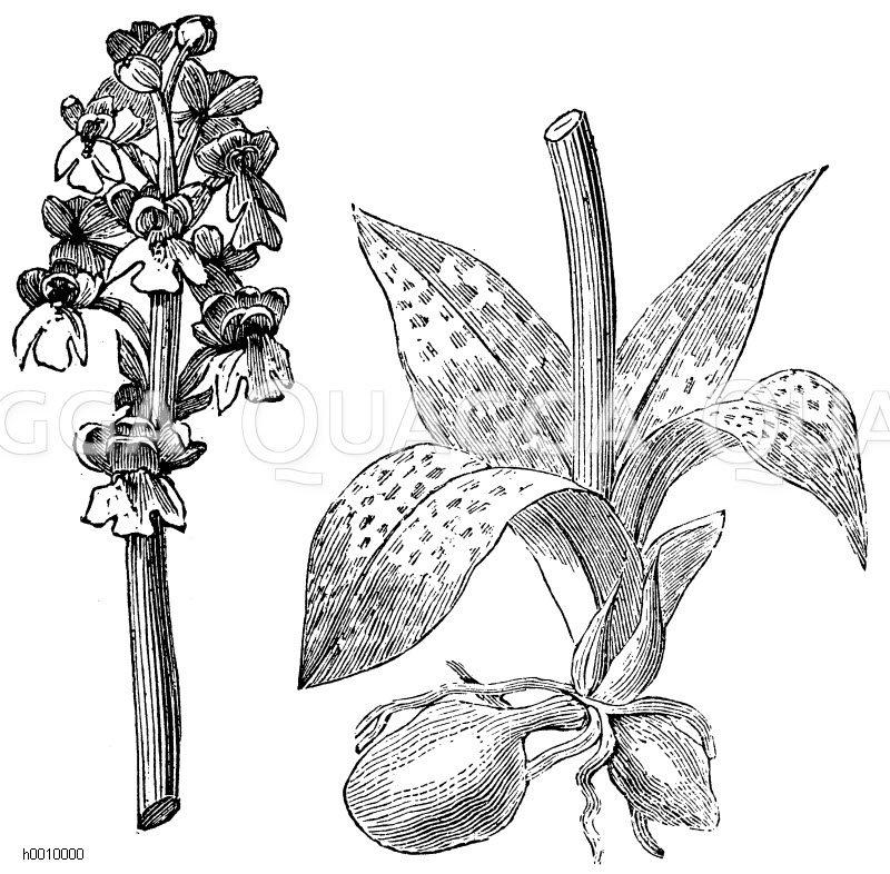 video erotik orchidee zeichnung schwarz weiГџ