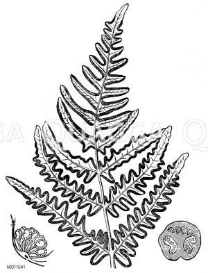Pteridaceae - Adlerfarngewächse