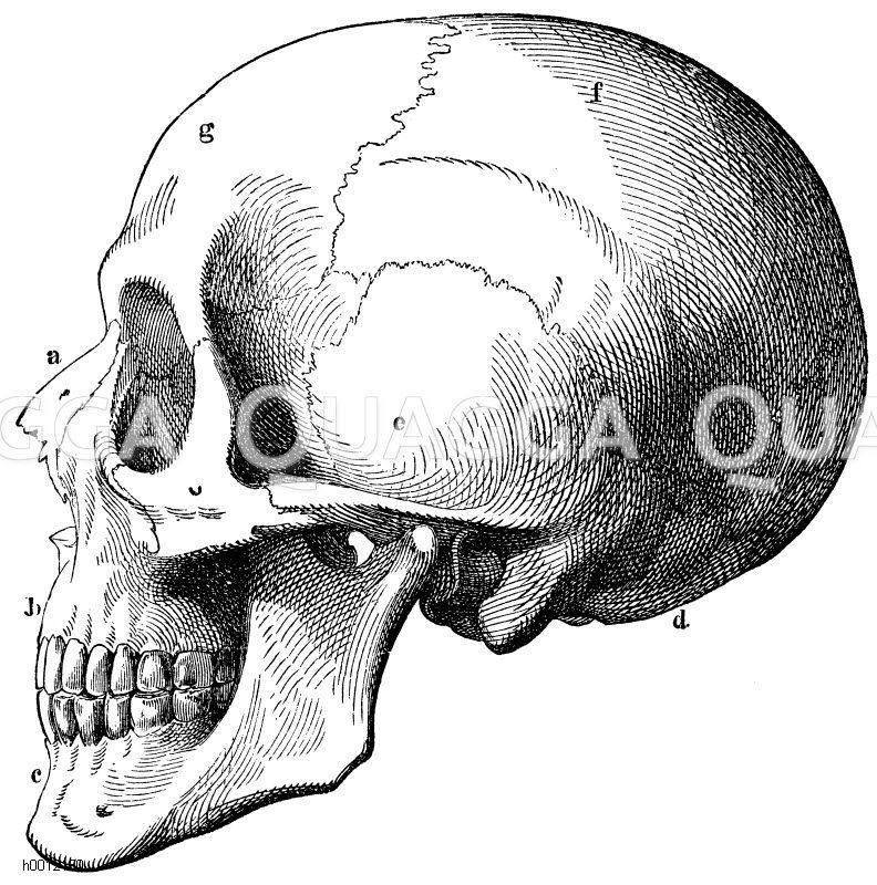 Schädel des Menschen. a) Nasenbein, b) Oberkiefer, c) Unterkiefer, d ...