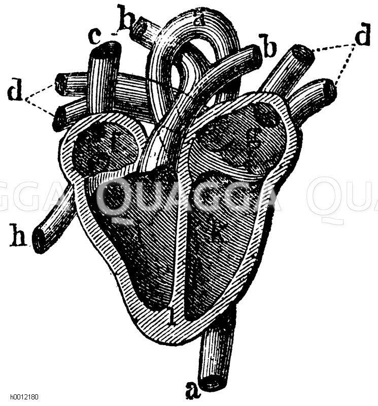 Mensch: Durchschnitt des Herzens mit den Adersätmmen a Aorta, b ...