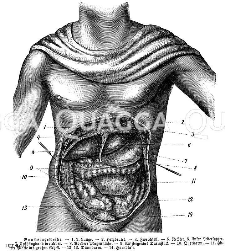 Mensch: Baucheingeweide