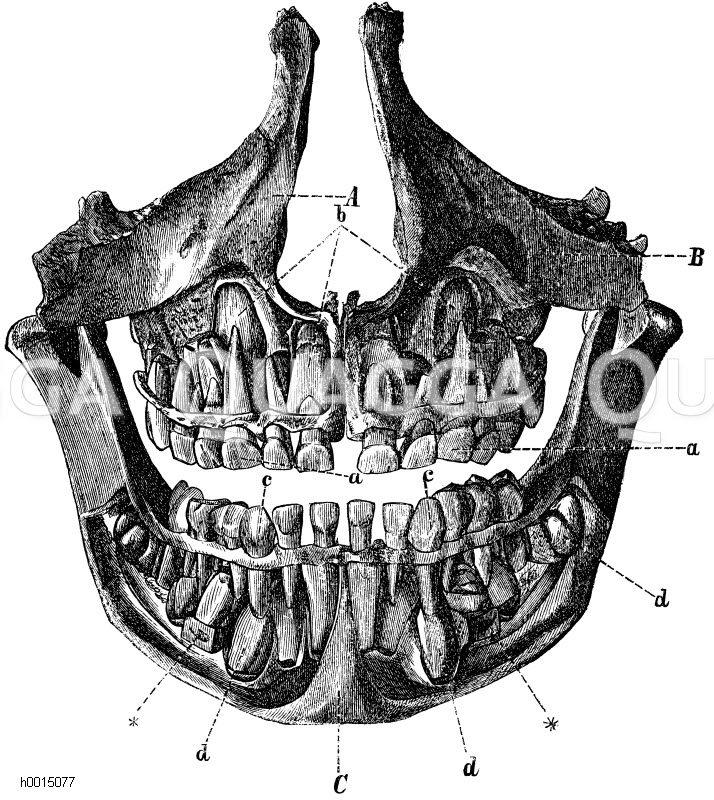 Milchzähne und bleibende Zähne im Gebiss eines fünfeinhalbjährigen ...