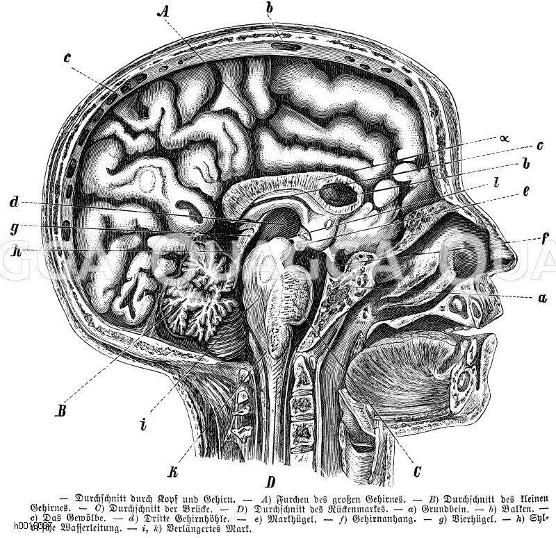 Fantastisch Kopf Und Hirnanatomie Galerie - Anatomie von ...