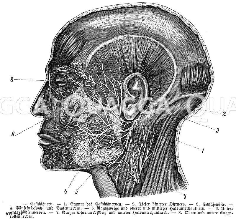 Mensch: Gesichtsnerv