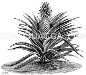 Bromeliaceae - Ananasgewächse