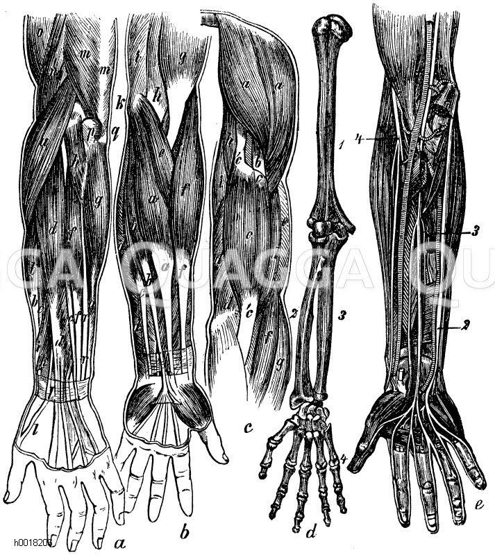 Arm: a) rechter Arm mit Muskeln, Nerven und Blutgefäßen, b ...