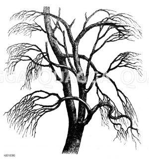 Ulmaceae - Ulmengewächse