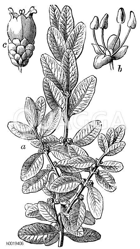 Buxaceae - Buchsbaumgewächse