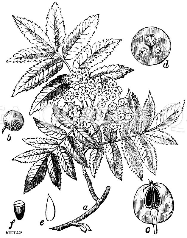 sorbus aucuparia eberesche a zweig mit bl te b frucht c frucht in l ngsschnitt d. Black Bedroom Furniture Sets. Home Design Ideas