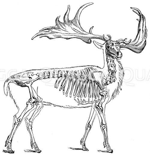 Skelette, Schädel, Körperteile, Präparate