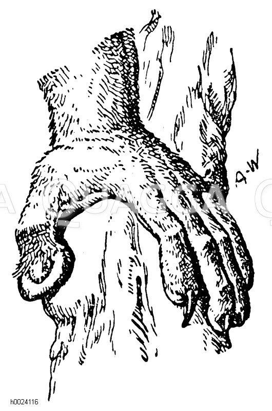 Lemuriformes - Lemuren