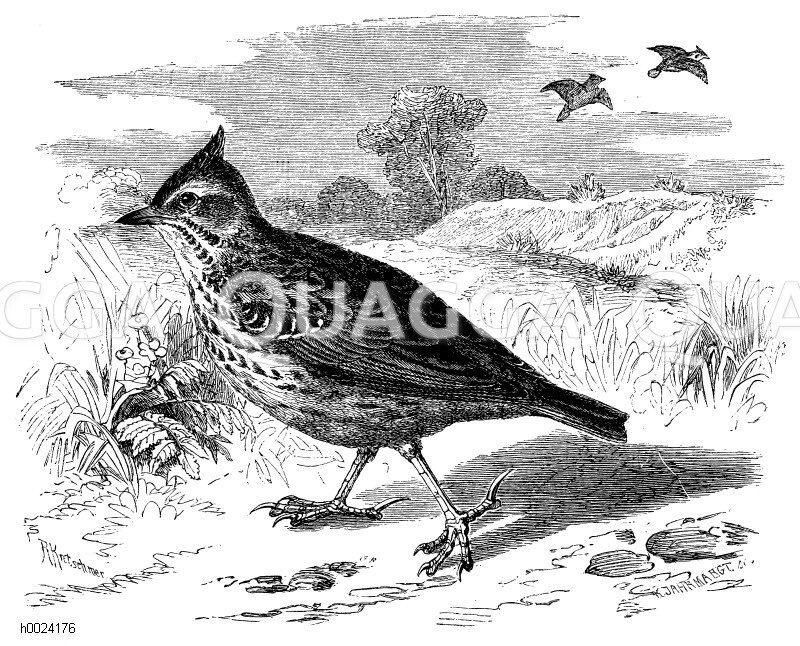 Lerchen - Alaudidae