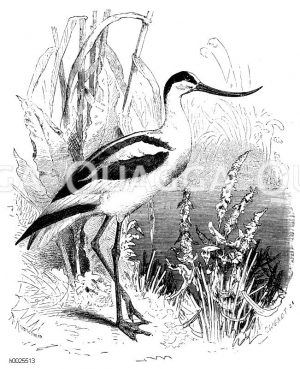 Säbelschnäbler - Recurvirostridae