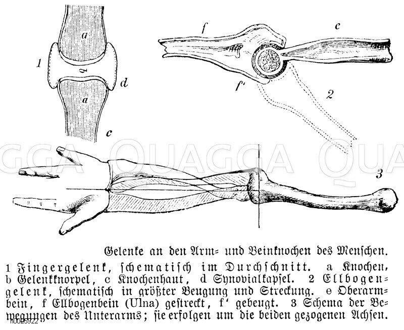 Gelenke an den Arm- und Beinknochen des Menschen