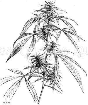Cannabaceae - Hanfgewächse