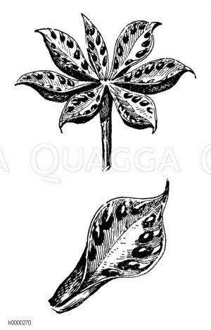 Sumpfdotterblume: Fruchtstand und Frucht Zeichnung/Illustration