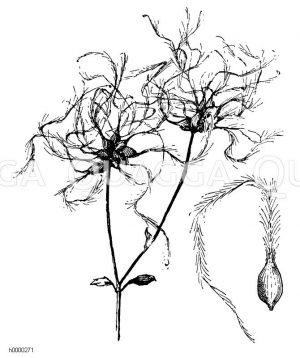 Waldrebe: Fruchtstände und Frucht Zeichnung/Illustration