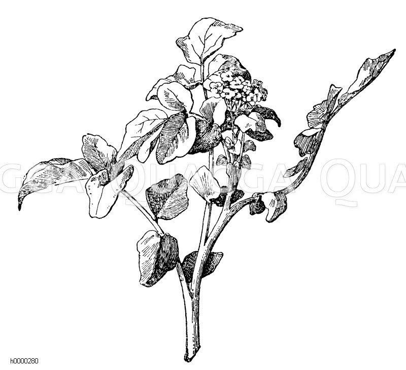 Brunnenkresse Zeichnung/Illustration