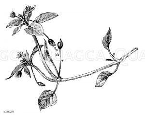 Vogelmiere: Zweig Zeichnung/Illustration