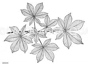 Rosskastanie: Zweig mit Blättern Zeichnung/Illustration