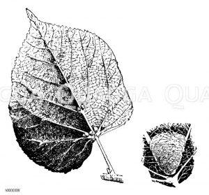Milbenhäuschen auf Lindenblattunterseite und einzelnes Häuschen (rechts) Zeichnung/Illustration