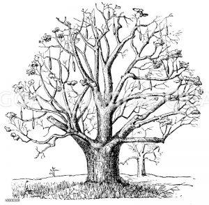 Affenbrotbaum mit Früchten während der trockenen Jahreszeit Zeichnung/Illustration