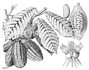Kakaobaum mit Blüten und Früchten Zeichnung/Illustration