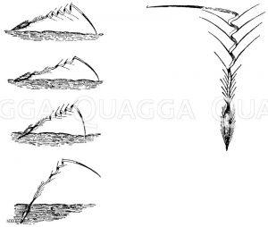 Reiherschnabel: Teilfrüchte