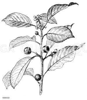 Faulbaum mit Blüten und reifen und unreifen Früchten Zeichnung/Illustration